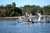 Picture relating to Brisbane River - titled 'Brisbane River/Birdlife'