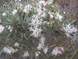 Picture relating to Manjimup - titled 'Manjimup - native bush in flower'