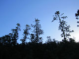 Picture of / about 'Mount Mudlo' Queensland - Hoop pine at Mudlo National Park