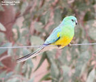 Birds of New South Wales - #12 – Bourke Region Red-rumped Parrot, Bourke, NSW