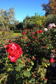 Picture relating to Nedlands - titled 'Peace Rose Garden, Nedlands WA'