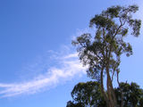 Picture relating to Toorbul - titled 'Smoking tree at Toorbul'