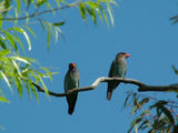 Picture relating to Yass - titled 'Mating pair of Dollarbirds'