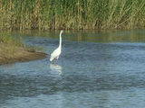 Picture relating to Kulkurna - titled 'Kulcurna - Egret fishing'