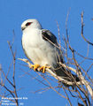 Birds of Phillip Island - #3 - Shearwater Estate Wetlands Black-shouldered Kite, Cowes, Phillip Island, VIC