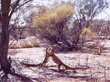 Picture relating to Cashmere Downs - titled 'Cashmere Downs - Goannas'