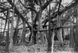 Picture relating to Rockhampton - titled 'Banyan fig tree in the Rockhampton Botanic Gardens, 1910'