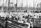 Picture relating to Taroom - titled 'Sheep at Taroom Settlement, 1914'