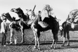 Picture of / about 'Cloncurry' Queensland - Camels loaded for the trip between Winton and Cloncurry