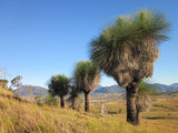 Picture relating to Boonah - titled 'Grass trees in the Boonah district'