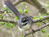 Picture relating to Yass - titled 'Grey Fantail'