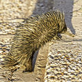 Picture relating to Barcaldine - titled 'Barcaldine early morning pedestrian - an echidna'