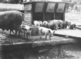 Picture relating to Watson - titled 'Pigs at the feeding troughs at the Government hog farm, off the Federal Highway, Watson.'