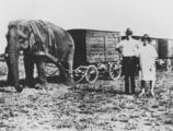 Picture relating to Mareeba - titled 'Elephant pulling wagons belonging to Wirth's Circus in Mareeba, 1931'