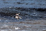 Picture relating to Hawley Beach - titled 'Hooded plover at Larooma'