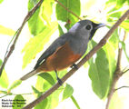 Birds of Victoria - #7(c) – East Gippsland (Mallacoota) Black-faced Monarch, Shady Gully Reserve, Mallacoota, VIC