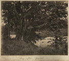Picture relating to Ingham - titled 'Large fig tree on the riverbank at Gairlock Plantation, Ingham, ca. 1881'