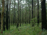 Picture relating to Kurth Kiln Regional Park - titled 'Blackened trunks from a past bushfire'