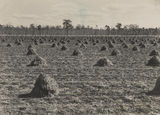 Picture relating to Wooroolin - titled 'Peanut field after harvest at Wooroolin, in the Kigaroy district'