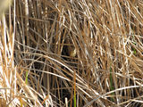 Picture relating to Yass - titled 'Clamorous Reed Warbler'